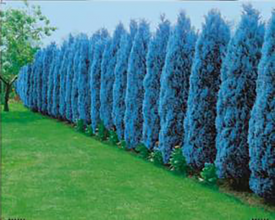 Ocelově modrý cypřiš (3)