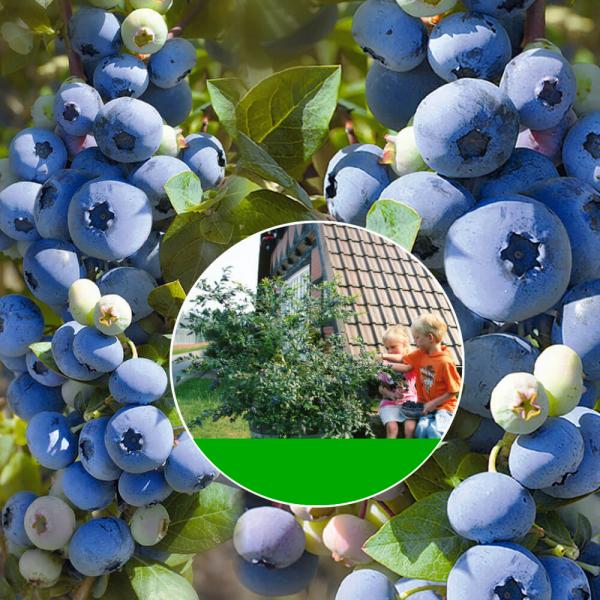Hroznovitá borůvka Réka
