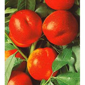 Andosa nektarinka, volné kořeny